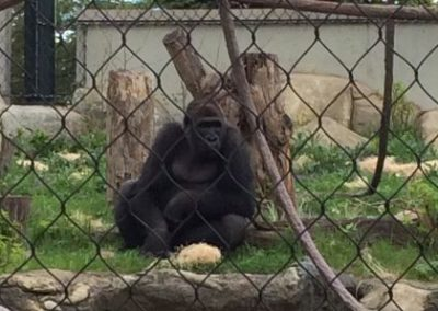 Gorilla at Lincoln Park Zoo