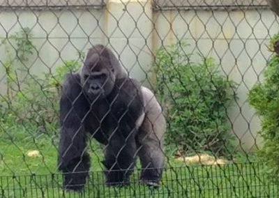 Majestic silverback gorilla at Lincoln Park Zoo