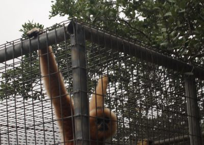 A yellow cheeked crested gibbon checked out the tour at Primarily Primates