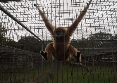 A white handed gibbon at Primarily Primates