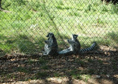 Hello there, ring tailed lemurs