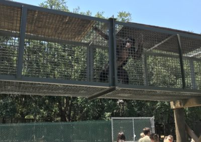 A chimpanzee observes the group touring Center for Great Apes