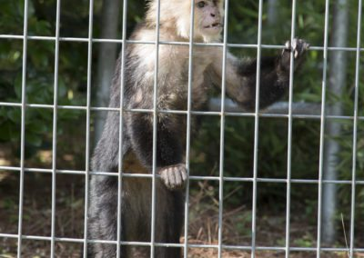 A capuchin monkey watches the tour of Jungle Friends Primate Sanctuary