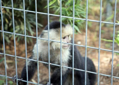 A capuchin monkey during the tour of Jungle Friends Primate Sanctuary