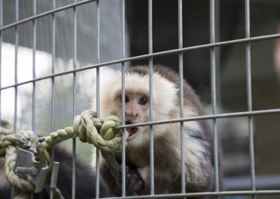 A capuchin during the tour of Jungle Friends Primate Sanctuary