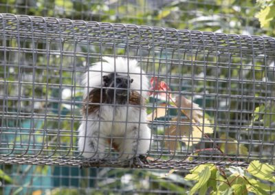 A cotton topped tamarin at the Jungle Friends Primate Sanctuary tour