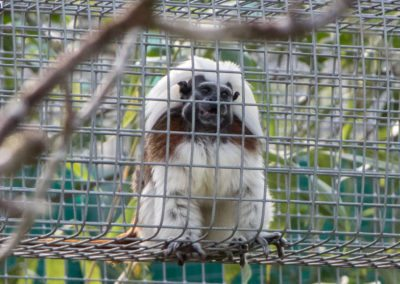 A cotton top tamarin watches the tour of Jungle Friends