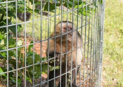 A capuchin at the tour of Jungle Friends Primate Sanctuary