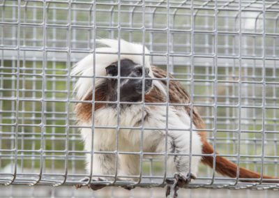 A cotton top tamarin at Jungle Friends Primate Sanctuary
