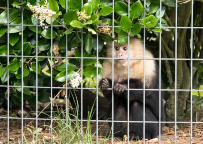 A capuchin observing the tour group at Jungle Friends Primate Sanctuary