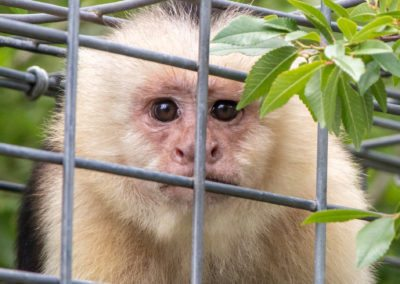 One of the many capuchins at Jungle Friends Primate Sanctuary