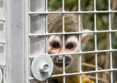 A squirrel monkey during the tour of Jungle Friends Primate Sanctuary