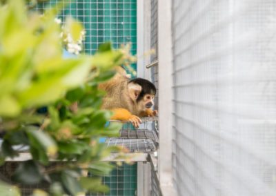A squirrel monkey watches the tour of Jungle Friends Primate Sanctuary