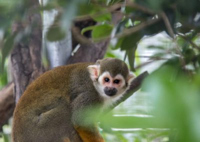 A squirrel monkey at Jungle Friends Primate Sanctuary